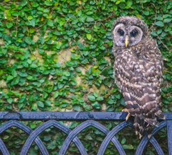 Barred Owlet Posting Up On The Back Patio. It's Become An Annual Tradition For The Owl Family That Has Taken Up Residence In Our Backyard. . . . . #instagrambham #bham #nature #dji #thisisalabama #bird #birdsofinstagram #alabama #travelblogger #djiphotography #dronephotos #travelphotography #instatravel #instaphoto #travel #southernliving #birmingham #ironcity #barredowl #owls #owlsofinstagram #life #nature #alabamathebeautiful #sweethomealabama #onlyinalabama #bestofbham #nikon #dslr