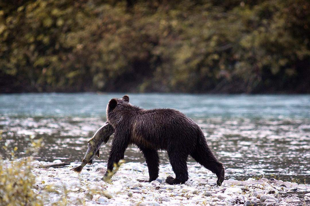 This grizzly in the bute inlet in canada had some nice salmon catch. Even though they have a bad reputation they don't care much about humans, as long as you don't attract them and keep distance. This female passed me just a few meters and then went straight to the water to fish. Did you know that they mostly feed on the brain and skin of the fish?  #jaworskyj #learnfromben #canada #explorexanada #buteinlet #explorebc