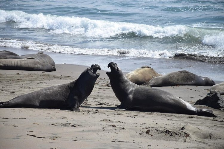 Elephant Seals of San Simeon | Free Viewing Area for Everyone