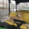 Hank's not too sure about this snow! ❄️ We thought spring was here! 🤷‍♀️ #winter #snow #springiscoming #gator #johndeere #goldendoodle #dogsofinstagram #dogs #cornwall #cornwallontario