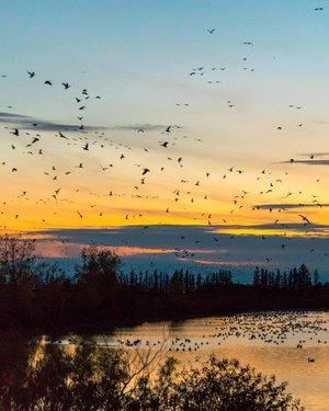 Sunset Goose Flights@fortwhytealive🍂你宁愿在冬季迁移或冬眠吗? 就个人而言,我喜欢吃很多东西,并且长时间小睡。