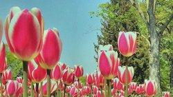 Canadian Tulip Festival.  #MyOttawa #MyCanada #RabinPhotography #Rabin #beechwood #Vanier #TulipsInBloom #OttawaInBloom