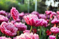 Anything is possible with sunshine and a little pink. Good morning Ottawa 🌸✨😍🇨🇦 • #feradventures #myottawa #ottawaphoto #ottawalife @cdntulipfest @loveottawa #ottawainbloom #tulipmania