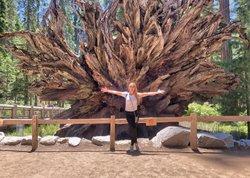 Роща Марипоса. Самое большие деревья на планете - Секвойи. В этой роще они живут около 2000 лет. После реставрации к ним стало не так просто подойти, почти все огорожены, это сделано для того, чтобы не стаптывать почву и корни деревьев, чтобы им было комфортно продолжать свою жизнь в своих естественных условиях, поэтому у нас, увы, нет классических фото маленьких нас, стоящих у стволов-гигантов или внутри них, потому что самые гиганты теперь под защитой изгороди.  Секвойя - род растений семейства кипарисовые. Достигают высоты более 110 метров. 😱 ну, примерно, 1,5-2 московские панельки. Вероятнее всего, своё название дерево получило в наследство от индейского вождя племени чероки - Секвойя, который изобрёл азбуку чероки в 1826 году.  Произрастает в США, вдоль побережья Тихого океана, в канадской провинции, на Гавайях, в Новой Зеландии, Великобритании, Италии, Португалии, ЮАР и Мексике. Любит влажность, приносящуюся морским воздухом.  В этой роще не самые большие секвойи Калифорнии, но у нас было мало дней на путешествие, поэтому мы выбрали рощу на территории национального парка Йосемите.  Второе по объёму и самое старейшее дерево рощи-гигантский гризли (Grizzly Giant) имеет длину окружности ствола почти 30 м., вдумайтесь, это как однушка 😂😂😂 Раньше Гризли входил в пятерку самых больших по объёму деревьев, но теперь часть ствола повреждена, поэтому занимает 25 место. Гризли в карусели на 5й фотографии ;) К нему, конечно, действительно лучше не подходить, ствол поврежден, чем больше будут топтать почву вокруг, тем скорее он упадёт 🙁 . . #секвойя #секвойядендрон #рощамарипоса #марипоса #лес #лескалифорния #калифорния #сша #природасша #природакалифорнии #sequoia #самоебольшоедеревовмире #mariposa #mariposagrove #forest #california #cali #californiaforest #californianature #usa #usanature #yosemite #йосемити #йосемите #grizzly #grizzlygiant #гигантскийгризли #гризли