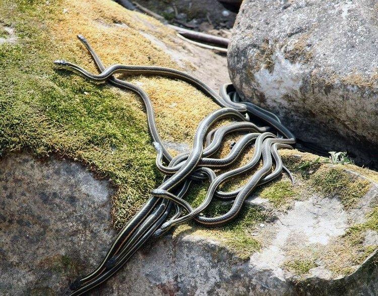 Narcisse Snake Dens的秋季蛇观赏季节已经开始! 不要错过今年再次看到蛇的机会,因为他们回到窝点为冬天做准备。 🐍关注蛇活动并在此更新:http://www.naturenorth.com/spring/creature/garter/Narcisse_Snake_Dens.html