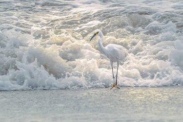 Egret #2  #Egret #fishing #snowyegret  #katrinakieferphotography #visitalbeaches #wildlifephotography #surf #beach #lightandshadow #thisisalabama #alabamaphotographers #alabamaoutdoors #fineartphotography