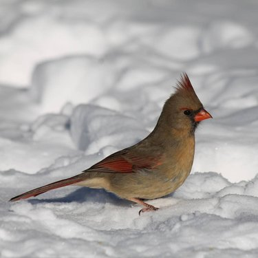 Female northern cardinal Cardinal rouge femelle