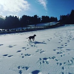 Guinness meets snow for the second time in his young life. #labrador @harsaveslives @dogs.lovers