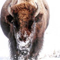#bison #montanagram #montanamoment #yellowstonenationalpark #yellowstone #lowergeyserbasin #bigskypic #bigskymontana