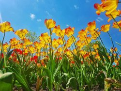 What a gorgeous day yesterday to take in the tulip festival 🌷 #myottawa #ottawainbloom #cdntulipfest #ottawa #canada150 #canada🇨🇦