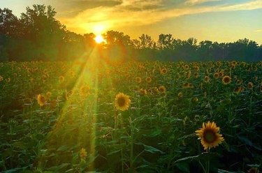 A gorgeous morning shot of The Sunflower Field in Autauga County, Alabama. Photo was found via abc3340 and credit belongs to Kelli Peek.  Tag  to have your photo featured 📷😁 DoubleTap & Tag a Friend Below⤵ 💋 😍 💟 🙏 Plz Follow us - Alabama.M.Schwartz * Tag your love 😘 * ✅ Turn Post Notification on 📣 ✅ Follow, like and comment ✏ ✅ Tag your friends 👥  #nature #alabamarivers #cahabariver #alphotography #alabamaphotographer #naturephotography #alabamaphotography #peaceful #onlyinyourstate #alphotographer #natureshot