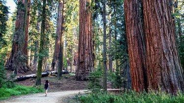 #sequoia #yosemite #yosemitinationalpark #california #cali #laborweekend #2019 #gigantsequoias #giganttree #trees #forest #sequoiaforest #houston #texas #houston #guadalajaraespaña #españolesenhouston #alcarreñosporelmundo #samsunggalaxys9 #galaxys9