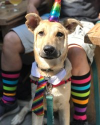 Happy Oakland pride! This prideful pup came in yesterday with his humans after the Hella Gay 5k!